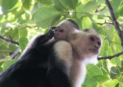 Monkeys in Cahuita National Park