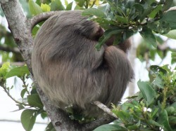 Sloth Asleep in Tree