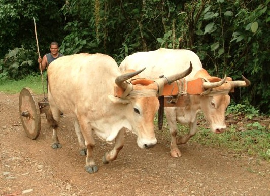 Oxen on Road