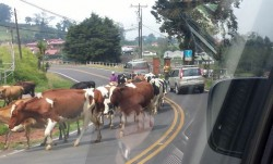 Cows in San Jose