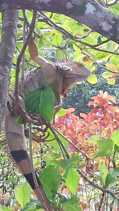 Iguana in a Tree in Costa Rica