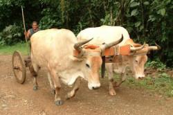 Livestock in the Road
